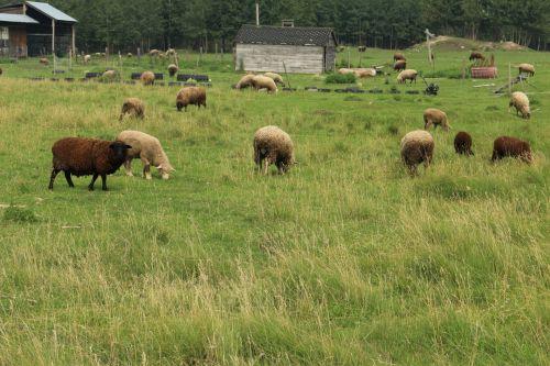 ūkis, avys, gyvuliai, ūkių avių gyvuliai