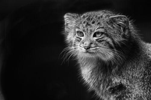 fauna,laukiniai,pallas kačių,gyvūnai,gamta,gyvūnas,laukinis gyvūnas,zoologijos sodas,kačių,Wildcat,laukinis katinas,fauvre,akis,akys,juoda ir balta
