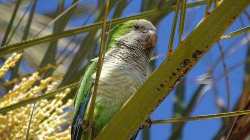 Fauna, Paukščiai, Parakeet