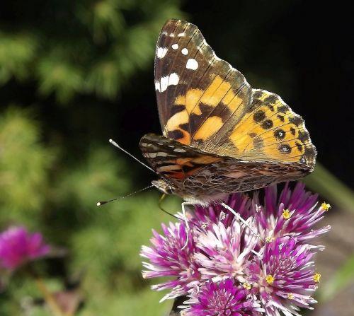fauna,vabzdžiai,drugelis,gėlė,gamta,sodas