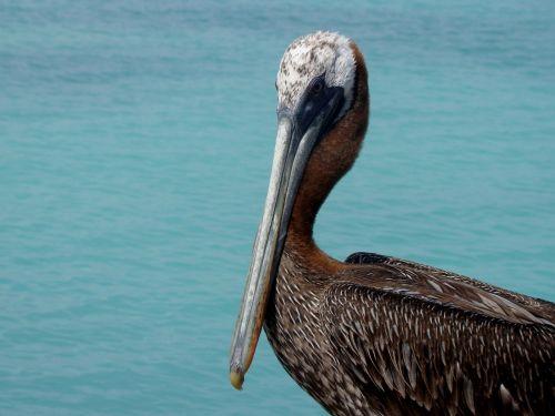 fauna,pelican,piko,gyvūnas,plunksnos,sparnai,jūros paukštis,jūra,Laisvas,havens,vandenynas,didžioji paukštis,gamta,paukštis,valyti,Pietų Amerika,ave,plumėjimas,gyvenimas,gyvūnai