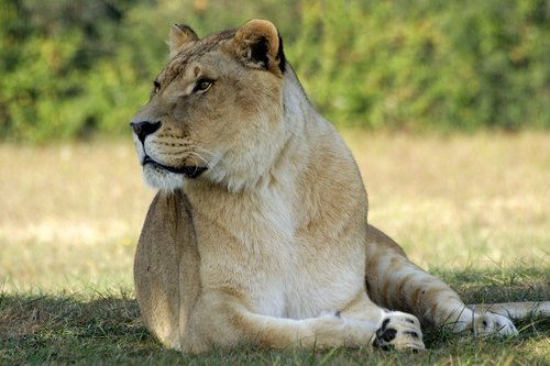 gyvūnija, žinduolis, liūtas, gamta