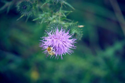 bičių, gėlė, vabzdys, flora, apdulkinimas, žiedadulkės, gamta, kaimas, vasara, laukinė gamta, gyvūnas, botanika, fauna ir flora