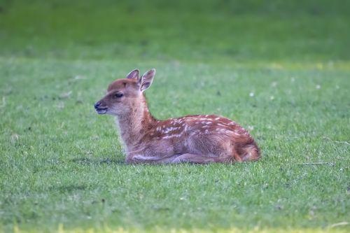 žvilgsnis,jauni elnias,gyvūnas,laukiniai,mielas,bambis,jaunas gyvūnas,žinduolis,laukinis gyvūnas,kailis,laukinio gyvenimo parkas,miško gyvūnas,saldus,sėdėti,pieva,jaunas