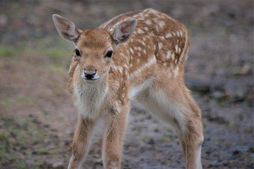 gelsvai ruda, Iš arti, laukinis gyvūnas, Gyvūnijos pasaulyje, žinduolis, pobūdį, stirnos, mielas, kailiai, raudonos spalvos, saldus, Zoo, krūmai, švelnus, smalsu, gražus, Serengeti parkas