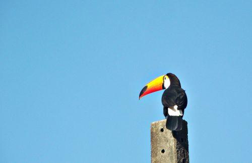 Felipe bueno,tucano,paukštis,fauna,Brazilija,didelis snapelis,Brazilijos fauna,paukščiai