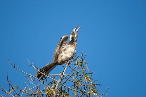 paukštis, ragas, pilka, sparnas, pakeltas, medis, viršuje, moteriškas pilkasis raguonies pakėlimo sparnas
