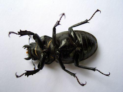 vabalas, lucanidae, juoda & nbsp, vabzdys, baisi & nbsp, vabzdys, didelis & nbsp, vabalas, antenos, beads & nbsp, akis, juodas & nbsp, vabalas, nagai, apačia, šalia & nbsp, vabalas, moteriškasis baisiausias vabalas
