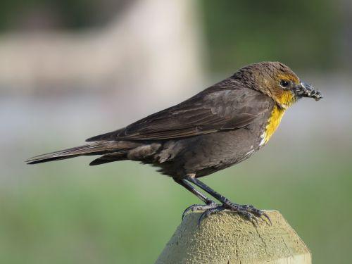 moteriškas geltonuogių juodasis paukštis,moteriškas juodasis paukštis,juoda paukštis,giesmininkas,laukinė gamta,gamta,laukiniai