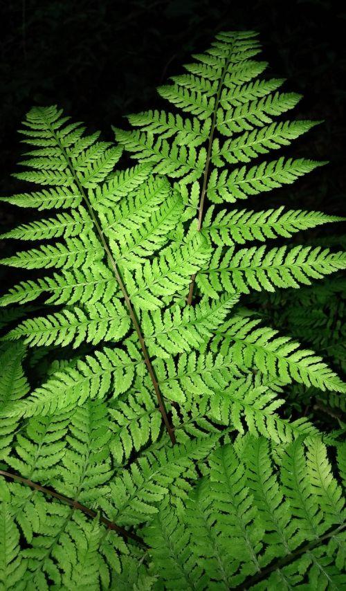 papartis,girnas,šieno aromatizuotas papartis,dennstaedtia punctilobula,šieno kvapo papartis,žalias,visžalis,fauna,augalas,botanika,augmenija,flora,gamta,botanikos,medis-papartis,lapai,lapai,sodas