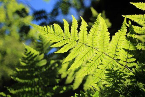 papartis,žalias,atgal šviesa,augalas,gamta,miškas,lapų papartis,paparčio augalas,fiddhead,makro,saulės šviesa,flora,laukinis augalas,kraujagyslių kriptogamiai,mažas papartis,lapai