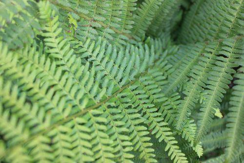 papartis,žalias,augalas,gamta,miškas,Uždaryti,paparčio augalas,lapai,lapų papartis,fiddhead,makro,paparčio lapas,mažas papartis,jauni lapai