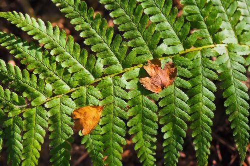papartis,augalas,žalias,gamta,Uždaryti,miškas,paparčio augalas,lapai,flora,fiddhead,žalia augalas,miško augalas,vasara,laukinis augalas,laukinės gėlės,žalias lapas
