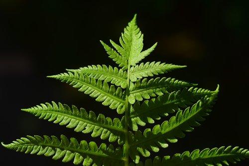 papartis, papartis lapas, žalias, augalų, pobūdį, papartis augalų, lapų, miško augalų, Iš arti, fiddlehead, struktūra, lapai, floros, lapų papartis, fonas, paparčio lapai, žalia augalų, tekstūros, makro, papartis žalia, gražus, saulės, Briaunuoti