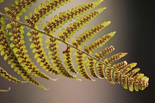 papartis, papartis lapas, sporangiosporos, iš apačios, žalias, rudi, papartis augalų, fiddlehead, Iš arti, lapų, žalia augalų, struktūra, sporos, floros, augalas