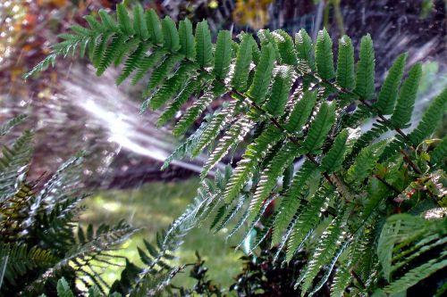 papartis,augalas,paskirstymas,žalias