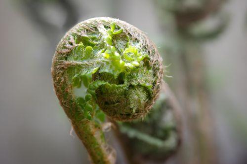 papartis,jaunas,jaunas papartis,pavasaris,berniukas ūgliai,švieži ūgliai,Roll,išvynioti,ūgliai,suvyniotos,jauni lapai,lapų papartis,žalias