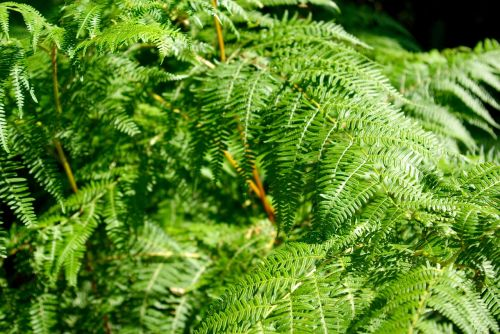 papartis,augalas,sodrus,žalias,augmenija,flora,botanika,lapai,miškas,gamta,lapija,sodas,aplinka,augimas,ekologiškas,modelis,šviežias,sezonas
