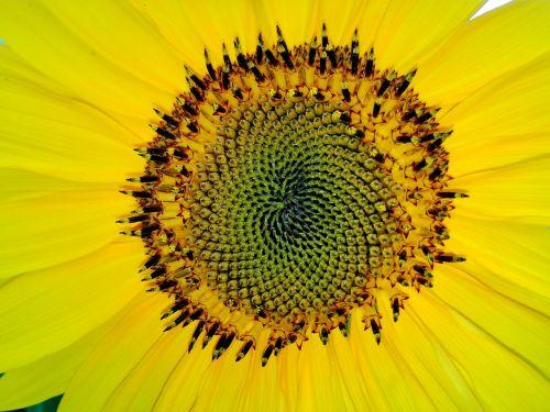 fantazijos,saulės gėlė,geltona,Uždaryti,žiedas,žydėti,vasara,gėlė,makro,augalas
