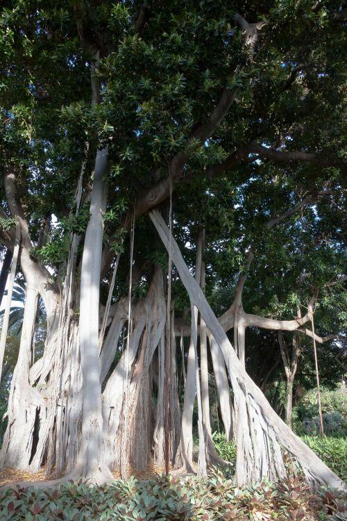 ficus macrophylla,augalas,didelis,lapai,žalias,gamta,sodas,atogrąžų,medis,tropinė augmenija,džiunglės,tropikai,Kanarų salos