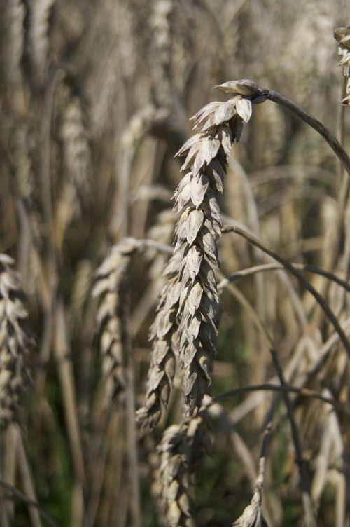 laukas,Bauer,pieva,Žemdirbystė,gamta,ariamasis,derlius,ruduo,grūdai,bio,kvieciai,kukurūzų laukas,maistas,ūkininkas,grūdai,vaizdingas,sveikas,rugių laukas,kraštovaizdis,augalas,auksas,prinokę,kaimas,žemės ūkio,kviečių smaigalys,sėkla,spiglys,aukso geltona,grūdų laukai,biologinis,subrendęs,maistingi miežiai kviečių lauke,maistingi miežiai,vasaros pabaigoje,javai,valgyti