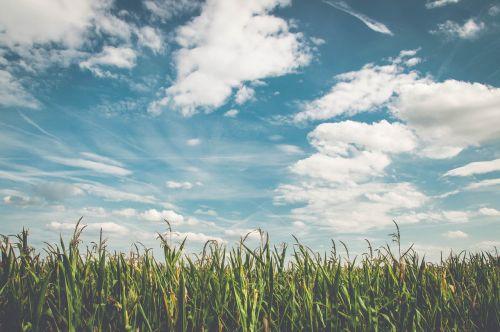 laukas,kukurūzai,oras,frisch,Žemdirbystė,kukurūzų laukas,derlius,vasara,ariamasis,ruduo,maistas,sausas,kukurūzų burbuolės,augalas,pasėliai,kukurūzų derlius,debesys,dangus,kukurūzų augalai,saulė,kukurūzai,žalias,kukurūzų grūdai,kraštovaizdis,laukai,fonas