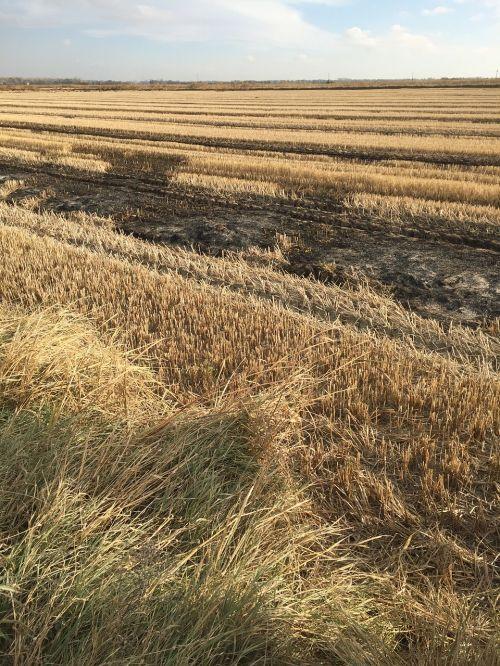 laukas,ryžiai,taurė,javai