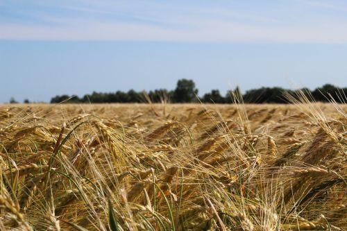 laukas,spiglys,grūdai,Žemdirbystė,kukurūzų laukas,aukso geltona,rugių laukas,derlius