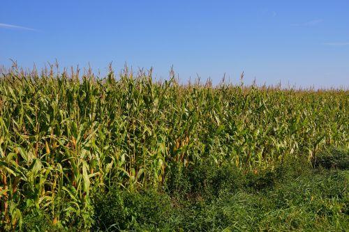 laukas,kukurūzų laukas,Žemdirbystė,galvijų pašarai,kukurūzai,ariamasis,kraštovaizdis,maistas,vasara,kaimas,kukurūzų burbuolės,dangus,kukurūzų burbuolės,biologinės dujos,gamta,pasėlių,žalias,kukurūzų augalas,oras,fonas