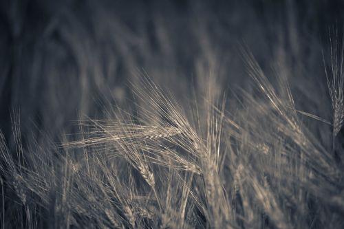 laukas,miežiai,javų augalas,Žemdirbystė,miežių laukas,derlius,suomių,kukurūzų laukas