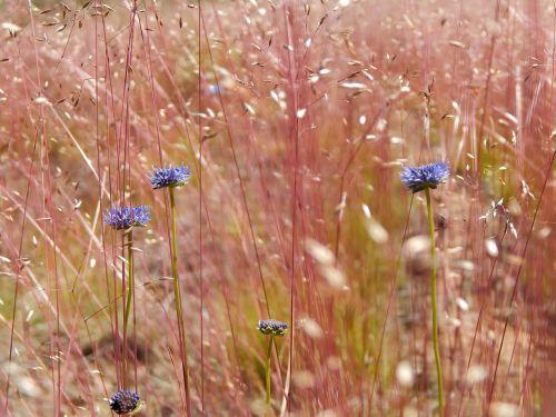 laukas,gėlės,raudonos gėlės,vasara,pievos gėlės,gamta,žalumos,lietuviu,raudona,žolė,stepė,žydėti,augalai,augalas,pieva,lauko gėlės