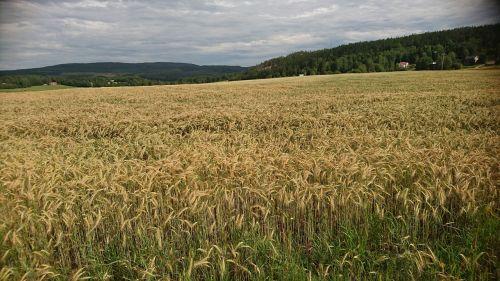 laukas,kukurūzų laukai,kaimas,Švedijos kaimas,Švedija,Švedijos,vasara