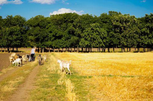 laukas,galvijai,kaimas,ožkos,namai,pieva,Žemdirbystė,gyvūnas,žolė,vasara,ūkis,žinduolis,ožka,žmonės