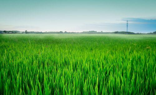 laukas, šilkas, ryžiai, žalias, Vietnamas, ryžių laukai, saulėlydis, Kaimas, virti ryžiai, peizažas, maistas, kaklas, aušra, debesys, Žemdirbystė, natūralus, ryžiai, derlius, japonų ryžiai, pasėlių, be honoraro mokesčio