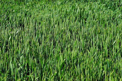 laukas, rugių laukas, Žemdirbystė, grūdai, kvieciai, grūdai, žalias, laukinės kultūros, kukurūzų laukas, gamta, maistas