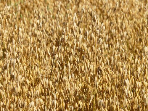 laukas,avižos,avižų laukas,ariamasis,grūdai,grūdai,kukurūzų laukas,Žemdirbystė,derlius,naminių gyvūnėlių maistas,vėliava avižos,avena