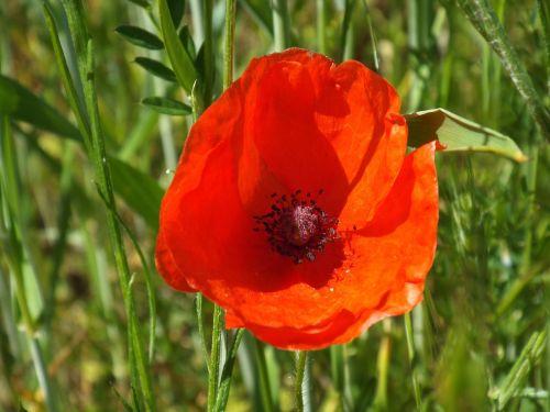 lauko gėlė,pieva,aguonos gėlė,raudona,aštraus gėlė,Uždaryti,gėlė,laukinės gėlės,natūralus augalas,žiedas,žydėti