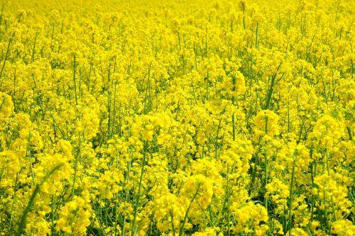 rapsų sėklos,aliejiniai rapsai,blütenmeer,geltona,gėlės,augalas,gamta,kraštovaizdis,vasara,rapsų žiedas,pavasaris,gėlių sritis,rapsų žiedai,rapsų augalai,Žemdirbystė,pasėliai,brassica napus,pakartojimai,lewat,kryžmažiški augalai,brassicaceae