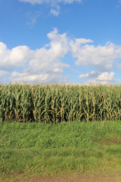 laukai,kukurūzai,laukas,Žemdirbystė,kukurūzų laukas,derlius,maistas,kukurūzų burbuolės,gamta,kukurūzų augalai,kultivuotas,dirvožemis,auga,plantacija,Produktai,industrija,portretas,kukurūzų lapai