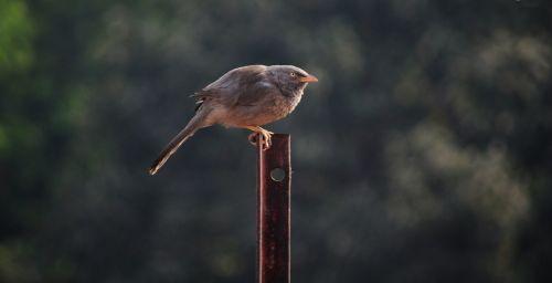 paukštis, mina, plunksna, sparnai, gamta, kovotojas mynahs 10