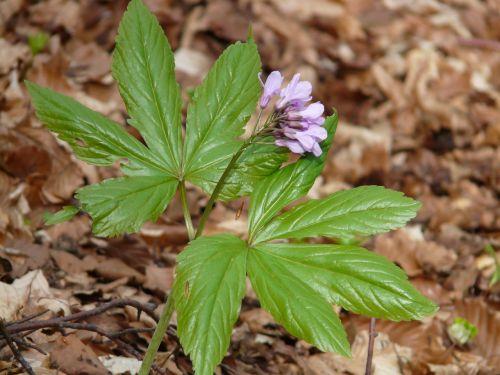 fingerzahnwurz,miško gėlė,zahnwurz,kortelių aminas pentafilos,dentaria pentaphyllos,gėlė,šviesiai violetinė,violetinė,šviesiai rožinė,kardaminas,kortelių aminai,kryžmažiški augalai,brassicaceae,dentaria,augalas,žolinis augalas
