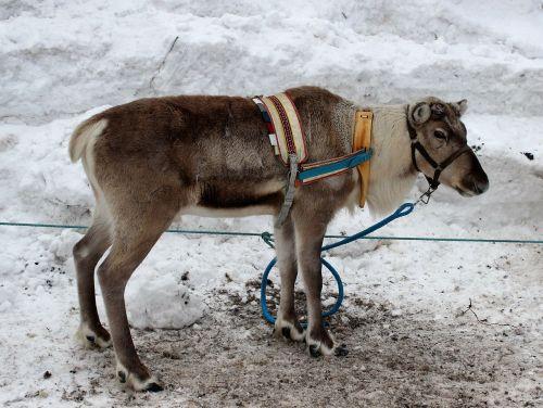 finland,šiaurės elniai,gyvūnas,žiema,sniegas,lauke,portretas