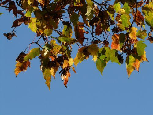 ugnies klevas,mažas lapelis,kritimo lapija,acer tataricum subsp ginnala,dreispitz klevas,amuro klevas,Amurahorn,3 lobed,akivaizdus,kritimo spalva,šviesus,geltona,žalias,ruda,tatuiruotės klevas,acer tataricum,totorių klevas,kvadratinis klevas,ginnala,klevas,Acer,moliūgų augalas,sapindaceae