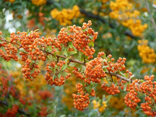 gaisrinė,oranžinė,augalas,uogos,krūmas,paprastosios gervuogės