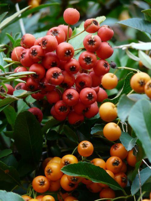gaisrinė,vaisiai,uogos,hibridas,oranžinė,raudona,krūmas,pyracantha,paprastosios gervuogės,visžalis krūmas,periwinkle,smailas,dekoratyvinis krūmas,apsidraudimas,paukščiai bosk,dekoratyvinis,žalias,sumaišytas