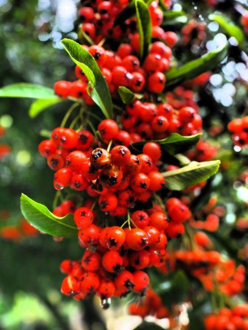 gaisrinė,vaisiai,uogos,raudona,krūmas,pyracantha,paprastosios gervuogės,visžalis krūmas,periwinkle,smailas,dekoratyvinis krūmas,apsidraudimas,paukščiai bosk,dekoratyvinis