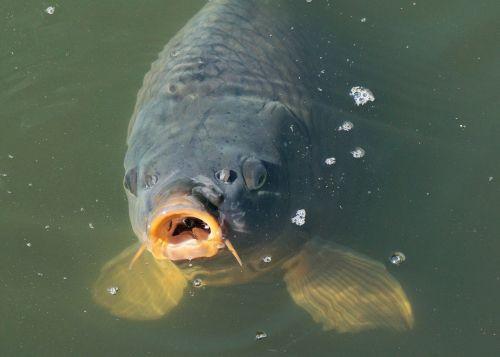 žuvis,karpis,tvenkinys,vanduo,vandens paviršius,plaukti,sodo tvenkinys,gamta,žvejyba