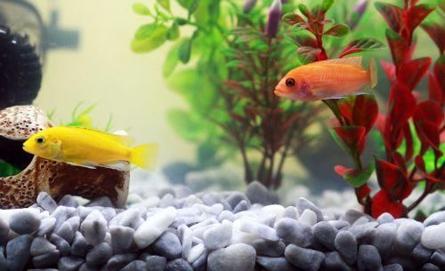 žuvis,akvariumas,geltona žuvis,vanduo,oranžinė,zoologijos sodas,vandens augalai,akvariumo žuvis