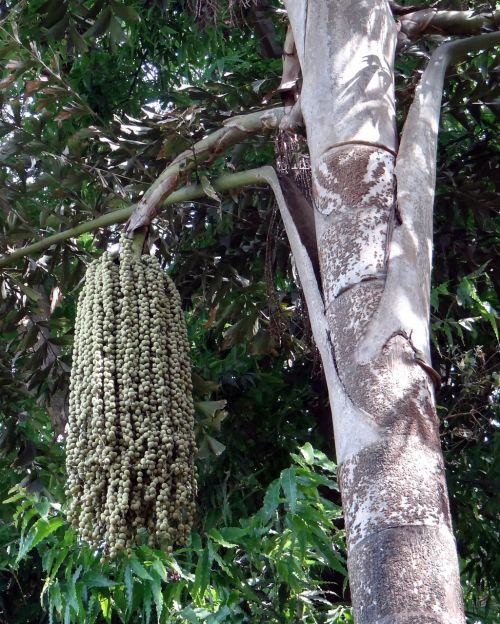 žuvies palmių palmių,Daggery palmių,Toddy palmių,vyno delnas,caryota urens,ascaceae,medis,riešutai,Indija