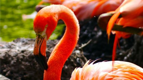 flamingo,paukštis,vandens paukštis,plumėjimas,rožinis,stuburas,fenikopteriformas,sąskaitą,drenažo sąskaitą